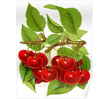 A vibrant bunch of cherries: 1901 illustration Poster
