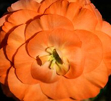 Orange Tuberous Begonia by Carole-Anne