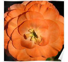 Orange Tuberous Begonia Poster