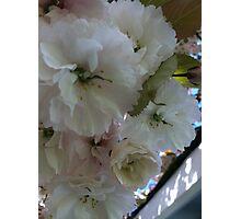 Japanese cherry blossom Photographic Print