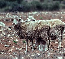 Sheep in pasture nr Cowell South Australia 1982 09080011 by Fred Mitchell