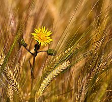 Dandelion and Barley by Violaman