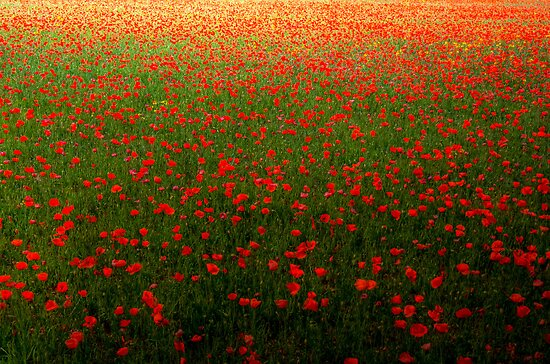 Poppies in Provence by Revenant