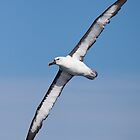 Yellow-nosed Albatross in classic pose by Canbies