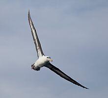 Shy Albatross in flight by Canbies