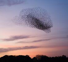 Bird Cloud - Starlings Preparing To Roost by Nigel Tinlin