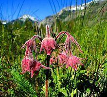 Three-Flowered Avens - Geum triflorum by Digitalbcon