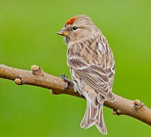 Lesser Redpoll by M.S. Photography/Art