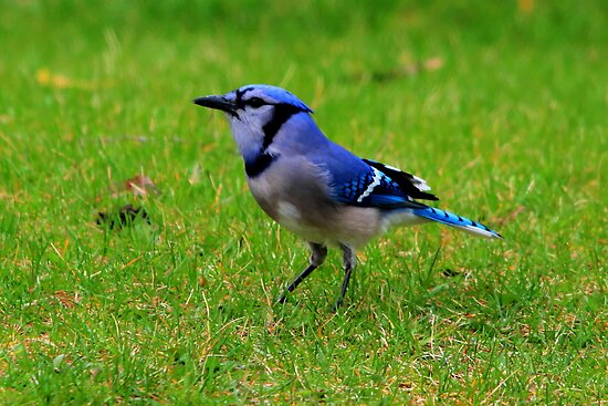 Blue Jay by Larry Trupp