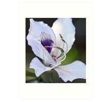 Mountain Ebony (Orchid Tree Blossom) Art Print
