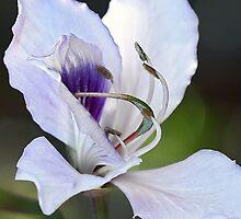 Mountain Ebony (Orchid Tree Blossom) by T.J. Martin