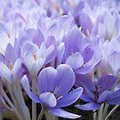 Crocus by Vac1