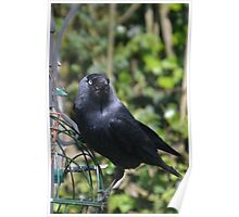 Jackdaw Poster