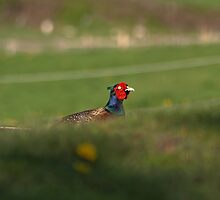 Pheasant Hiding... by Lauren Tucker