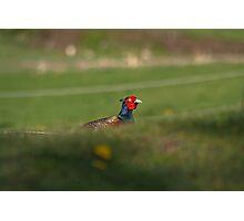 Pheasant Hiding... Photographic Print