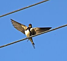 Swallows mating.. by Lauren Tucker