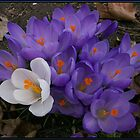 Crocus by jennybarnes