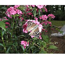 Painted Lady Butterfly on Flower Photographic Print