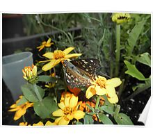 Painted Lady On Flower Poster