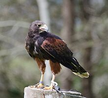 Harris's Hawk by kathleenjean