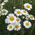 Daisy Flowers by ack1128