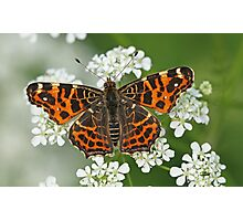 Map Butterfly On Cow Parsley Photographic Print