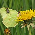 Fly on Brimestone Butterfly by Robert Abraham