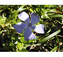 Vinca Flower Photographic Print