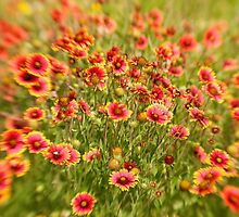 Indian Blankets by Troy Dalmasso