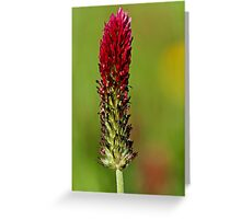 Trifolium pratense Greeting Card