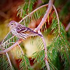 Savannah Sparrow by GailDouglas