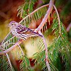 Savannah Sparrow by GailDouglas