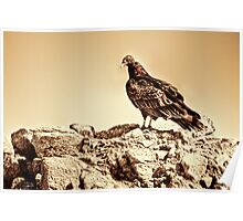 Turkey Vulture Poster