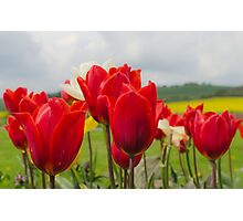 Tip to thru the Tulips Photographic Print