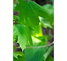 Green Leafs Photographic Print