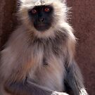 Langur Monkey at Ranthambore Fort by SerenaB