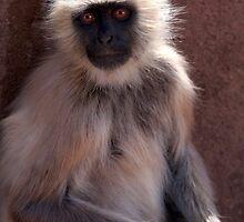 Langur Monkey at Ranthambore Fort by SerenaB