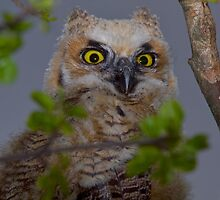 Little Hooter by John Absher