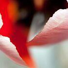 Petals by Karol Livote