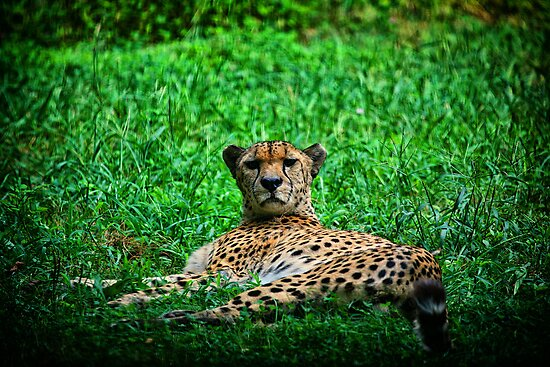 Cheetah by Karol Livote