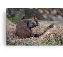 Brush-tailed Rock Wallaby Canvas Print