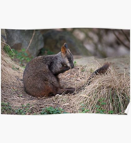 Brush-tailed Rock Wallaby Poster
