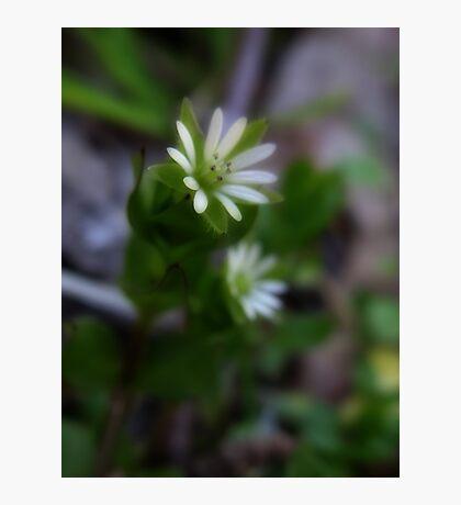 Wild Flower 6 Photographic Print