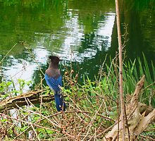 Blue Bird at Stow Lake by David Denny