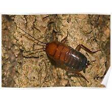American Cockroach Poster