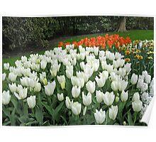 Pristine Tulips - Keukenhof Gardens Poster