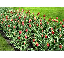 Hotheads - Fiery Young Tulips in the Keukenhof Gardens Photographic Print