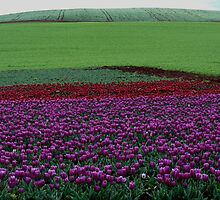 Australia, Tasmania, Purple Tulips by photoj