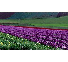 Australia, Tasmania, Purple Tulips Photographic Print