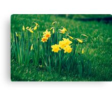 Cluster of Daffodils Canvas Print